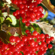 Stock Photo: Clusters of ripe berry of guelder-rose