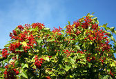 Ripe guelder-rose — Stock Photo