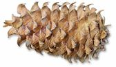 The cedar cone with the dried up pitch — Stock Photo
