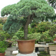 Stock Photo: Bonsai garden. Cedar-style bonsai