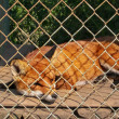 Stock Photo: Fox in small cage at private zoo. Cruelty to animals, Animal rights.