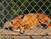 Fox in a small cage at a private zoo. Cruelty to animals, Animal rights. — Stock Photo