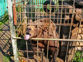Bear in a small cage at a private zoo. Cruelty to animals, Animal rights. — Stock Photo