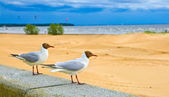 Gulls on the parapet at the seaside — Stock Photo
