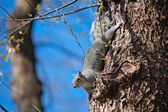 Red squirel on the treel  — Stock Photo