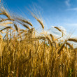 Stock Photo: Wheaten field in a sunny day