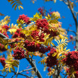 Rowan on blue sky — Stock Photo