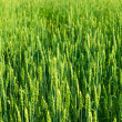 Wheaten field — Stock Photo #13337647