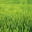 Wheaten field — Stock Photo #13337648