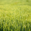 Wheaten field — Stock Photo #13337653