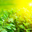 Sunlight and fresh green leaves — Foto de Stock