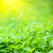 Sunlight and fresh green leaves — Stock Photo