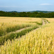 Country road through the wheaten field — Stock Photo #13337898