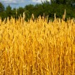 Wheaten field in a sunny day — Stock Photo #13337908