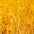 Wheaten field in a sunny day — Stock Photo #13337953
