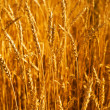 Wheaten field in a sunny day — Stock Photo #13338073