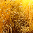 wheat closeup — Stock Photo #13338077