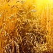 Wheat closeup - Stock Photo