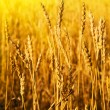 Wheaten field in sunny day — Stock Photo #13338115