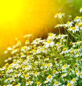 Rising sun above the beautiful chamomiles — Stock Photo