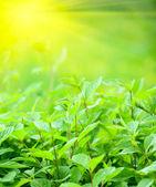 La lumière du soleil et des feuilles vertes fraîches — Photo