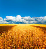 Wheat and cloudy sky — Stock Photo