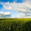 Wheaten field — Stock Photo #13340345