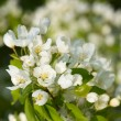 Apple blossoms — Stock Photo #13340552