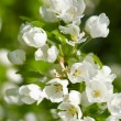 Apple blossoms on the green background - Stock Photo
