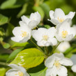 Apple blossoms — Stock Photo #13340557