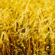 Wheat close-up — Stock Photo #13340664