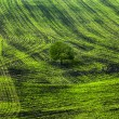 Shoots. Green lines in a field. — Stock Photo