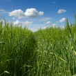 Wheaten field in sunny day — Stock Photo #13340763