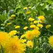 Yellow dandelions on a green background - Stock Photo