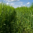 Wheaten field in a sunny day — Stock Photo