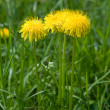 Yellow dandelions on a green background — Stock Photo