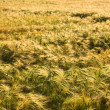 Wheaten field in sunny day — Stock Photo #13341097