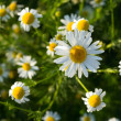 Summer day. Beautiful camomiles closeup — Stock Photo