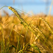 Wheaten field in sunny day. — Stock Photo #13341126