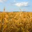 Wheaten field in a sunny day. — Stock Photo