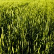 Stock Photo: Wheaten field
