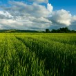 Wheaten field — Stock Photo