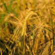 Stock Photo: Wheat close-up