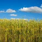 Wheat close-up — Stock Photo