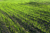Shoots. Green lines in a field. — Fotografia Stock