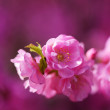 Japanese sakura blossom — Stock Photo