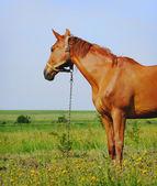 Pie de caballo joven en campo — Foto de Stock