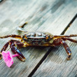 Stock Photo: Crab holding violet flower.