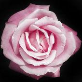 Pink rose on black background — Stock Photo
