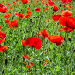 Flowering red poppies field — Foto Stock #13892788